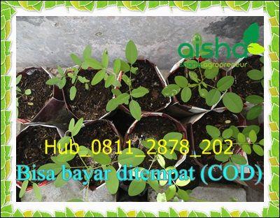 Jual 0811 2878 202 Jual Benih Indigofera Jogja Jual Bibit Indigofera Kabupaten Kebumen Jawa Tengah Benih Pohon