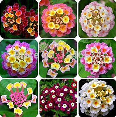 Amazon Com 50 Pcs Bag Lantana Seeds Potted Seed Flower Seed Home Garden Free Shipping Garden Outdoor Lantana Plant Flower Seeds Container Flowers