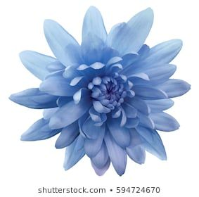 Blue Flower Chrysanthemum Garden Flower White Isolated Background With Clipping Path Closeup No Shadows Nature Art Inspo Flowers Blue Flowers