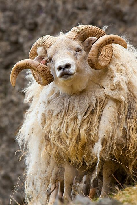 Icelandic Sheep: one of the oldest and purest breeds , =/- 1100 years. Used for fiber, milk and meat. Dual coated fleece: a long, coarser, hair-like outer coat call Tor, and a shorter, downy under coat, the Thel, that separates easily from the long fibers.  Tor best for weaving, and thel very sutable for knitting.