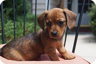 Holly Springs Nc Chihuahua Dachshund Mix Meet Lyla A Puppy