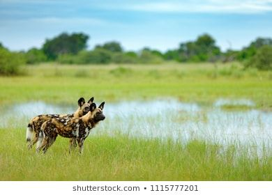 African Wild Dog Lycaon Pictus Walking In The Water Hunting Painted Dog With Big Ears Beautiful Wild Animal In H African Wild Dog African Animals Wild Dogs