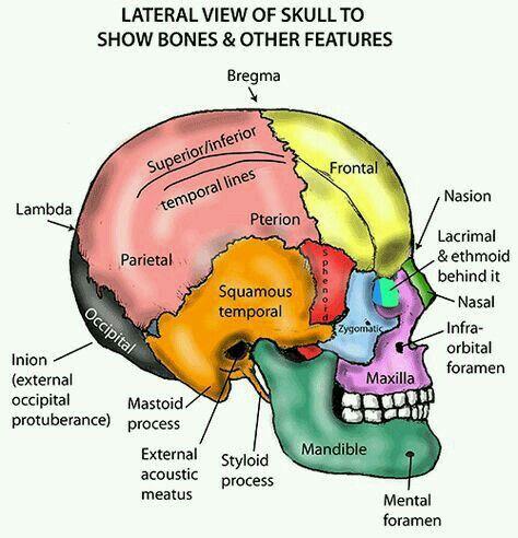 Pin By Wendy Mata On Cuerpo Humano Dental Anatomy Anatomy Bones Medical Anatomy