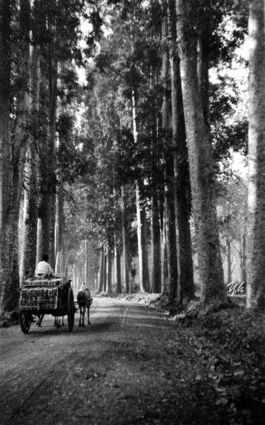 Pemandangan Jalan Dengan Pohon Damar Di Parakan Salak Sukabumi Jawa Barat 1935 Di 2020 Pemandangan Fotografi Alam Belanda