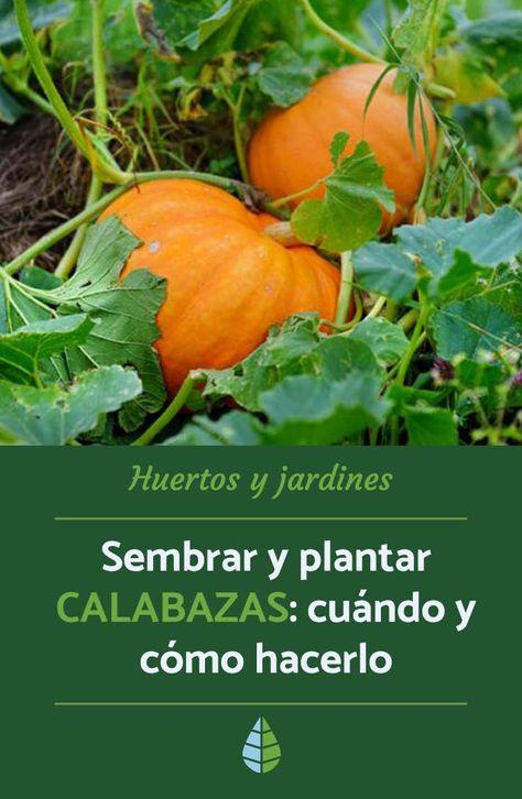 19 Ideas De Cultivo De Calabazas Cultivo De Calabaza Como Cultivar Calabazas Calabazas