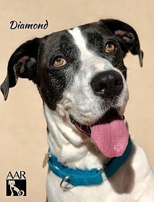 Magnolia Tx Great Dane Meet Diamond A Pet For Adoption