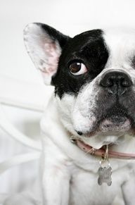 Frenchie close up