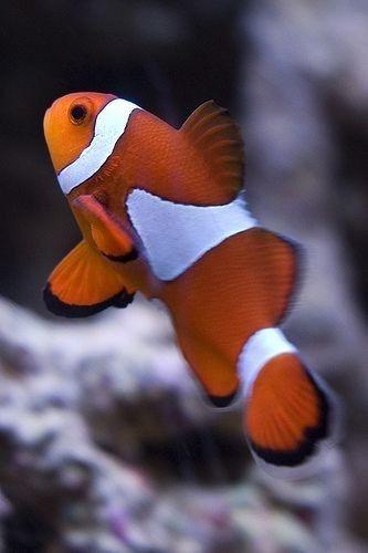 Pin By Okij On Oramra In 2020 Clown Fish Marine Fish Saltwater Aquarium Fish