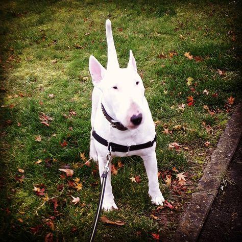 Door De Wind Door De Regen Dwars Door Alles Heen Bullterrierlove Animals Terrier Bull
