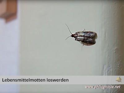Lebensmittelmotten Motten In Der Kuche Loswerden Bekampfen Philognosie Lebensmittelmotten Motten In Der Kuche Lebensmittel