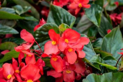 Care Of Begonias Growing Tips And Annual Begonia Care Begonia Tuberous Begonia Flowers