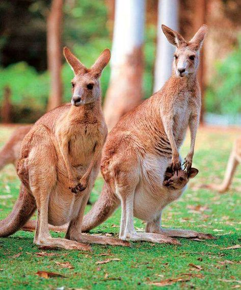 an analysis of the gray kangaroo animal species of australia There are quite a few different kangaroo species out there to learn mammal found in australia the western grey kangaroo that is a lighter color of gray.