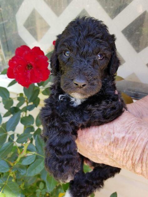 Iggy A Male 5 Week Standard Poodle Standard Poodle Dog Tshirt Dog Lovers
