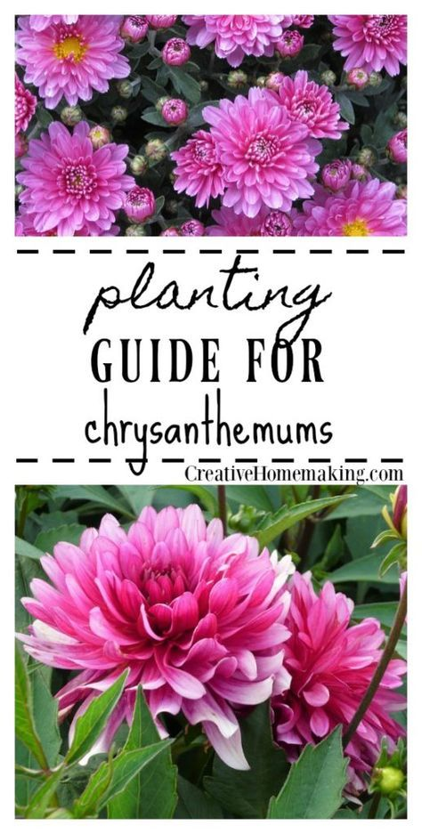 Planting Guide For Chrysanthemums Flowers Perennials Chrysanthemum Growing Chrysanthemum Plant