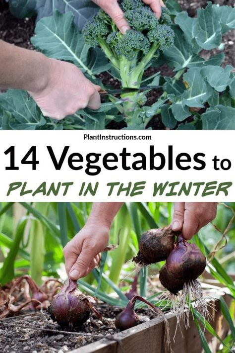 Winter is almost here and you might think the growing season is over. Well, there are actually a ton of vegetables you can grow in winter and today we will share a list of them! Growing Peas, Growing Spinach, Growing Lettuce, Growing Tomatoes, Growing Swiss Chard, Planting Vegetables, Growing Vegetables, Winter Vegetables To Grow, Regrow Vegetables