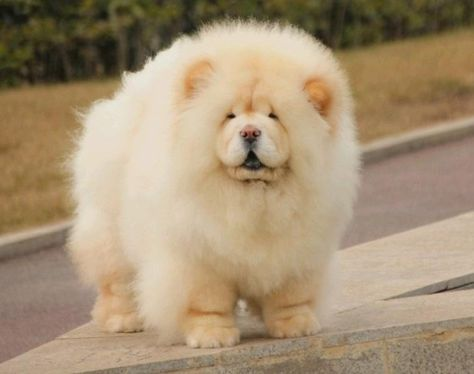 11 Big Fluffy Dog Breeds Perfect To Cuddle With Chow Chow Dogs