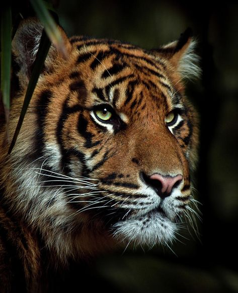 The Tiger by Animus Photography - Animal photography The Animals, Wild Animals, Baby Animals, Tiger Photography, Wildlife Photography, Photography Poses, Fantasy Photography, Macro Photography, Beauty Photography