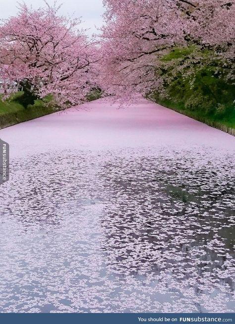 Cherry Blossoms At Hirosaki Park Japan Beautiful Landscapes Beautiful Nature Nature Photography