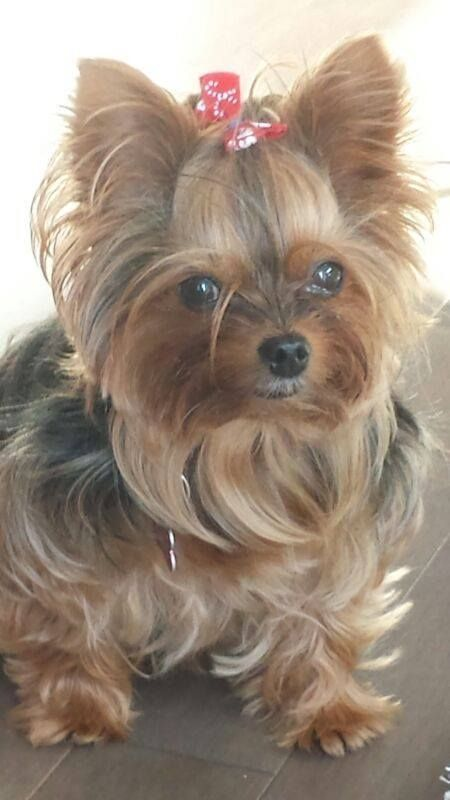 Adoralbe Yorkies Yorkshireterrier With Images Yorkshire Terrier Puppies Yorkie Dogs Yorkshire Terrier