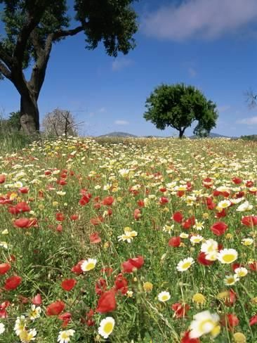 size: Photographic Print: Spring Flowers, Majorca Poster by John Miller : Spring Aesthetic, Flower Aesthetic, Spring Flowers, Wild Flowers, Field Of Flowers, Flower Feild, Spring Images, Spring Pictures, Pretty Landscapes