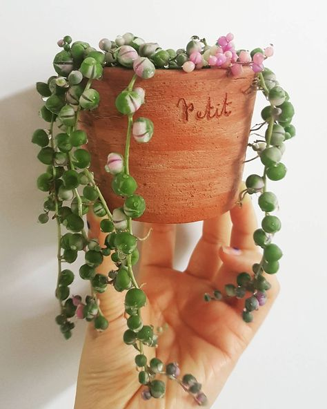"Curio senecio rowleyanus variegata. String of pearls succulent. » ""…a perennial succulent with up to 3 feet (90 cm) long, trailing stems, lined with small spherical leaves"" — World of Succulents"