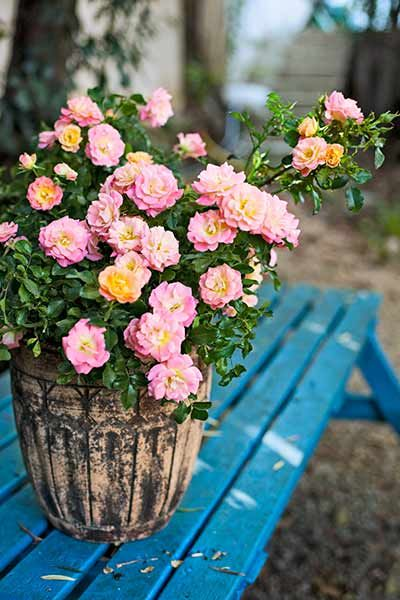 Guilt Free Container Roses Container Roses Growing Roses Container Gardening