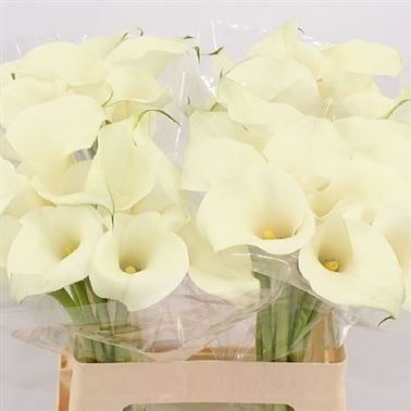 P Calla Lily White Ideal Zantedeschia Is A White Arum Type Lily It Is Approx 60cm Wholesaled I Flowers Delivered Calla Lily Flower Delivery