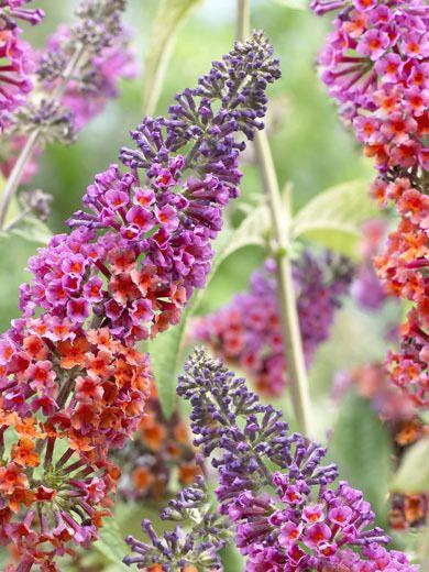 Buddleja Davidii Flower Power Smukke Blomster Blomster Planteideer
