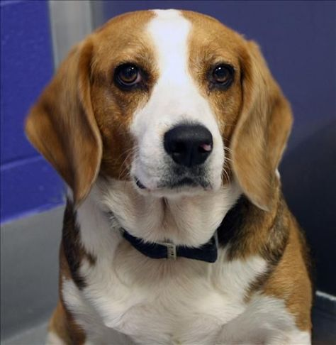 Name Captain Jack Sparrow Id 109759 Breed Beagle Mix Gender