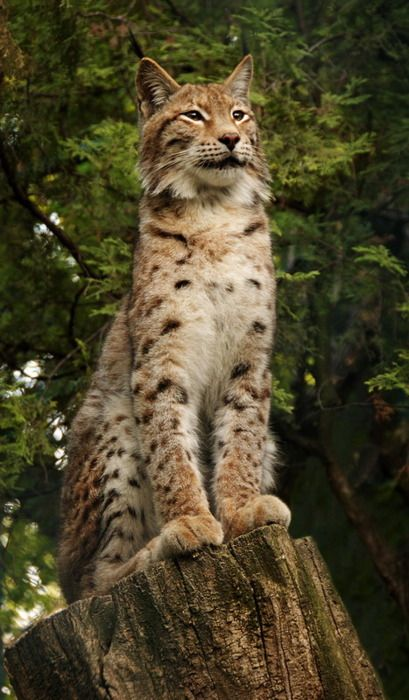 The Lynx- my spirit animal guardian of the North. Lynxes represent secrets and knowledge