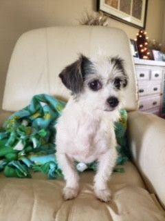 Adopt Rosie On Poodle Mix Dogs Low Energy Dogs Shih Tzu Poodle Mix