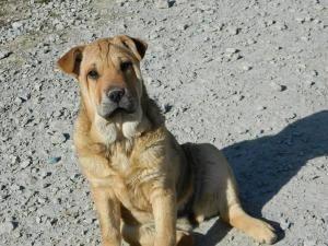 Trinket Is An Adoptable Shar Pei Dog In Winchester Oh 4 8 13 Meet Trinket Shar Pei Dog German Shepherd Mix Puppies Shepherd Mix Puppies