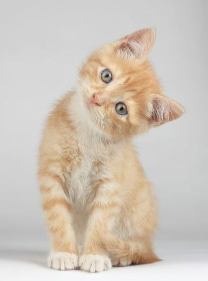 Cute Animals Reddit In Tabby Kittens For Sale Near Me Via Ragdoll Kittens For Adoption Near Me Few Cute Animals In Cartoon Animaux Chat Mignon Chats Et Chatons