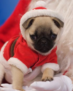 Santa Paws: Check out photos of these adorable Santa dogs -slide0 http://www.examiner.com/slideshow/santa-paws-check-out-photos-of-these-adorable-santa-dogs