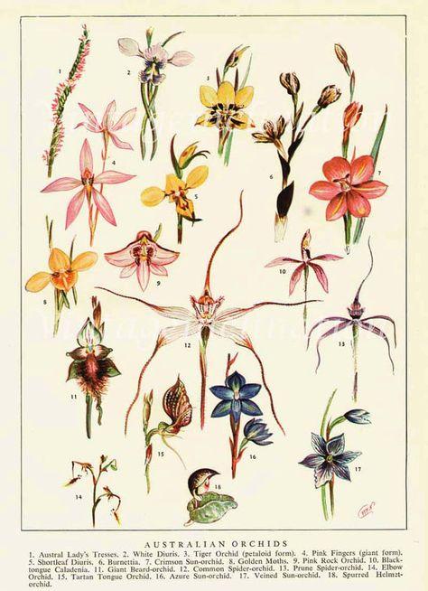 Vintage Australian Wild Orchids Flower Print Book Plate by VintageInclination, $12.80
