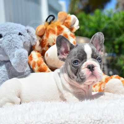 French Bulldog Puppy For Sale In Fort Lauderdale Fl Adn 72127 On