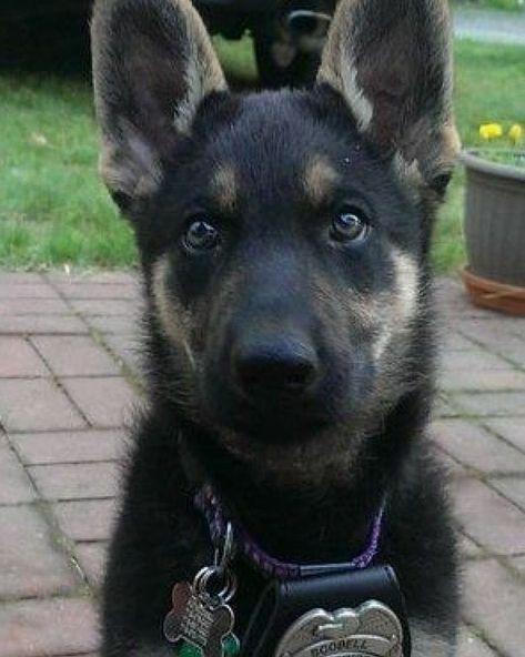 Lil police boy      ...   Lil police boy       FOLLOW @barkindoggos @barkindoggos  @barkindoggos  __ Credit: Unknown __ . . . . . #dog #dogsofinstagram #doggo #dogs #doggy #doge #dogstagram #dogsbeingbasic #dogoftheday #doga #dogo #dogs_of_instagram #doglovers