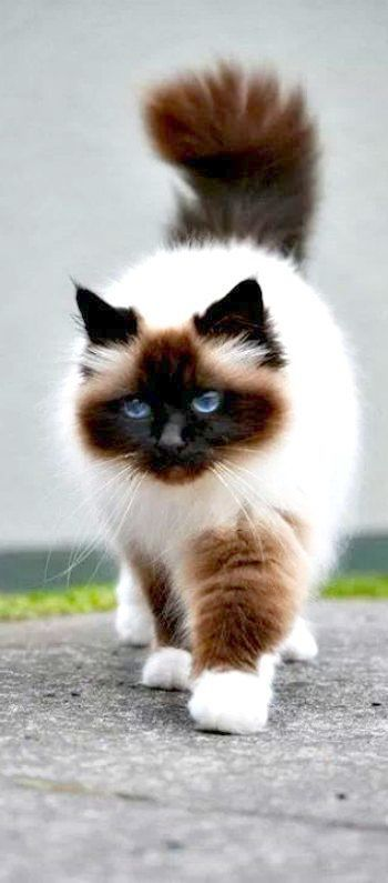 Cool Cute Cats For Sale Near Me With Images Cute Cat