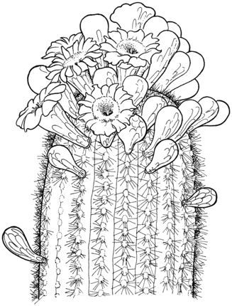 Click To See Printable Version Of Saguaro Cactus Blossom Coloring