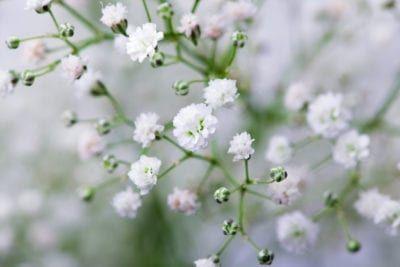 Baby S Breath Varieties Learn About Different Types Of Gypsophila Plants In 2020 Babys Breath Flowers White Flowering Plants Gypsophila