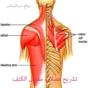 تشريح عضلات مفصل الكتف Shoulder Muscle Anatomy Muscle Anatomy Shoulder Muscles