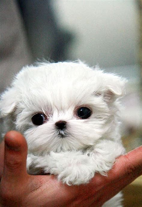 Image Result For Teacup Maltese Puppies For Sale Near Me Cute Baby Animals Puppies Teacup Puppies
