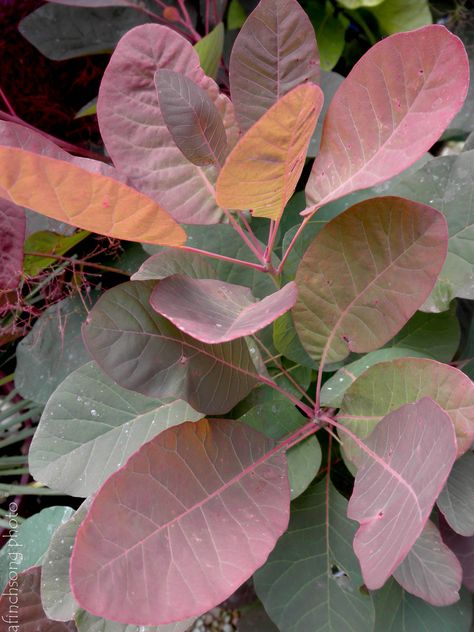 Cotinus coggygria x obovatus 'Grace' GRACE SMOKETREEdeciduous flowering shrubfull sun15 year size: 20'HWUpright spreadingFOLIAGE: Brick red emergingBlue-green round leavesSUMMER: Yellow smoky flowersFALL COLOR: Red orangeDry to moist soilDeer resistant       Drought tolerant