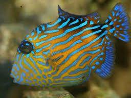 Http Gerberstropicalfish Com Wp Content Uploads 2013 05 Blue Line Trigger Fish Jpg Fish Marine Fish Aquarium Fish