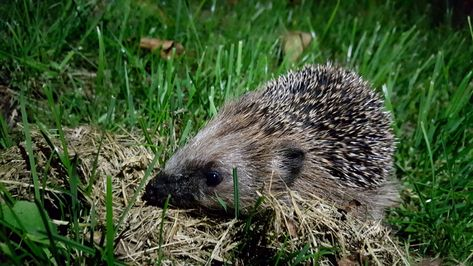 6 Bizarre facts about European Hedgehogs