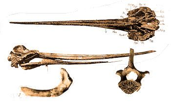 Fossil Fish And Ray Identification For Aurora And Coastal North Carolina Fossilguy Com In 2020 Fossil Teeth Vertebrates Fossil