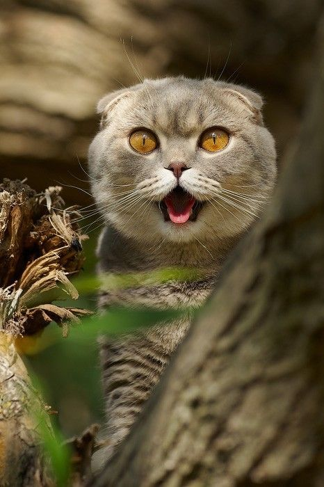 At What Age Do Kittens Eyes Change Color With Images Crazy Cats Cat Scottish Fold Cats