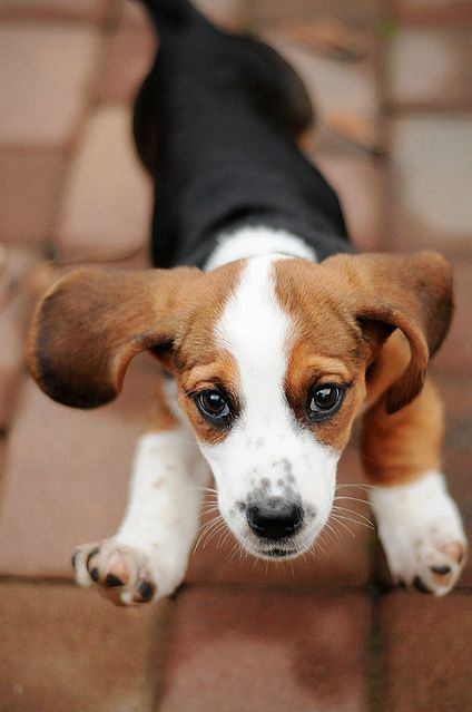 6 Puppy Games To Play With Your New Puppy Beagles Beagle Cute
