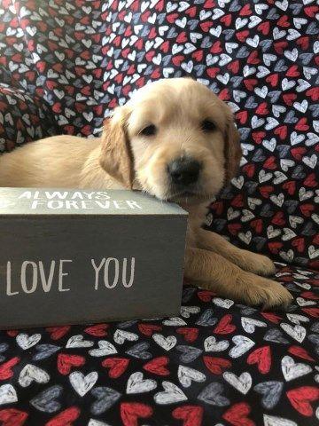 Golden Retriever Puppy Dog For Sale In Kenosha Wisconsin Dogs