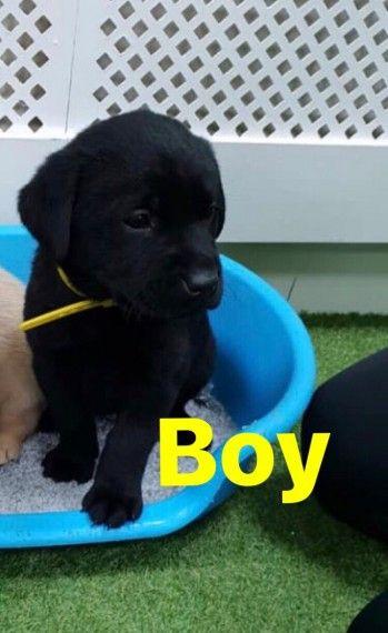 Black Labradors Black Labrador Labrador For Sale Labrador